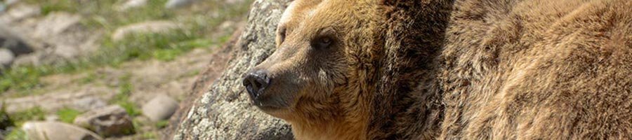 De-Listing of Wyoming Grizzly Bears