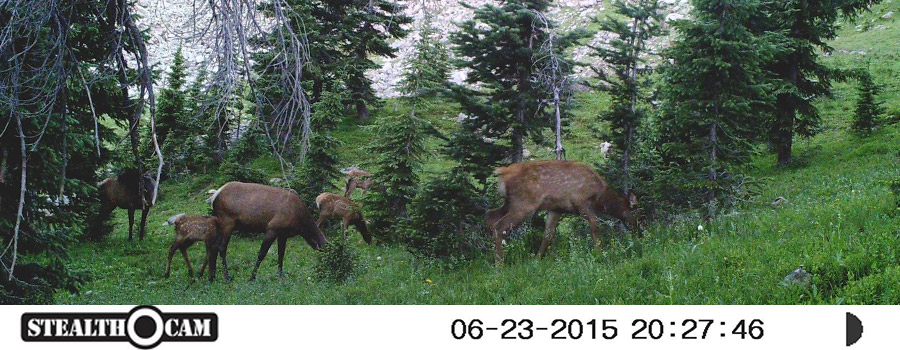 Young Elk on Trail Camera